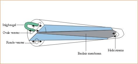 Basilair membraam stijfheid