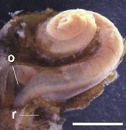 foto cochlea slakkenhuis