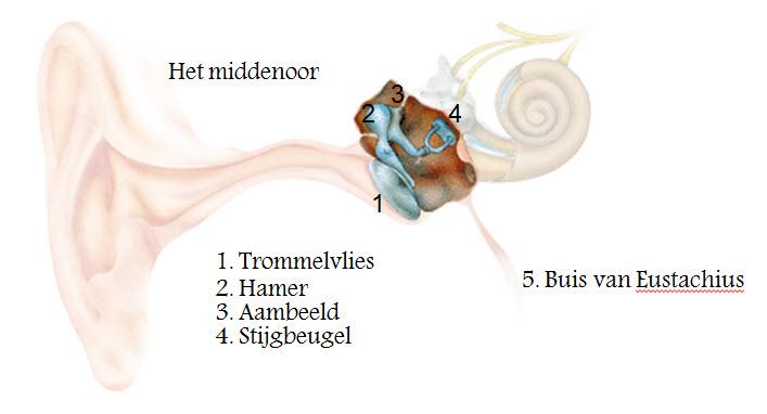 Het oor: Opbouw van het middenoor