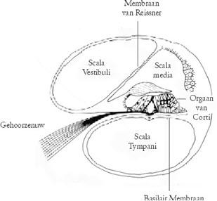 tekening dwarsdoorsnede slakkenhuis oor